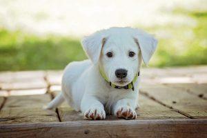 Počuli ste už o šoku u psov? Inak povedané aj skrytý zabijak