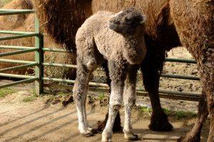 V košickej zoo sa narodil ďalší prírastok do stáda tiav dvojhrbých